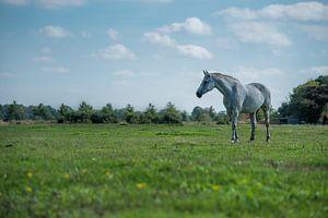 Wit paard op de Veluwe van