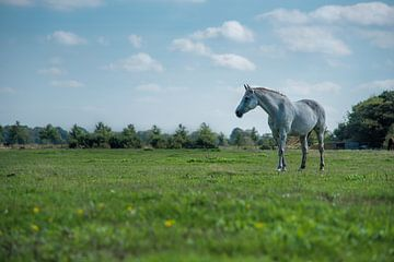 Wit paard op de Veluwe sur Cilia Brandts