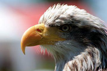 american sea eagle sur Rick Nijman