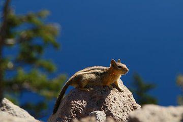 Eichhörnchen am Crater Lake, Oregon von Jeroen van Deel