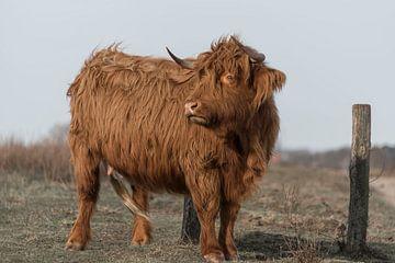 Schotse Hooglander in de wind van Ans Bastiaanssen