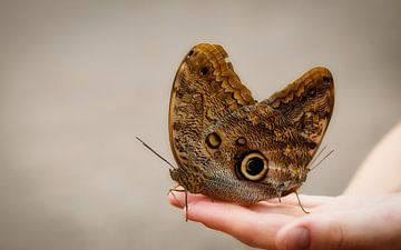 Uilvlinder (Caligo eurilochus) van Sran Vld Fotografie