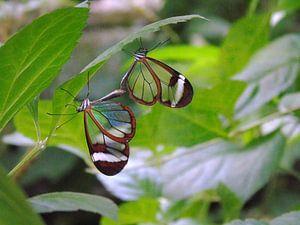 Greta Oto Couples - Tropische vlinders (  Collectie 2018 ) van