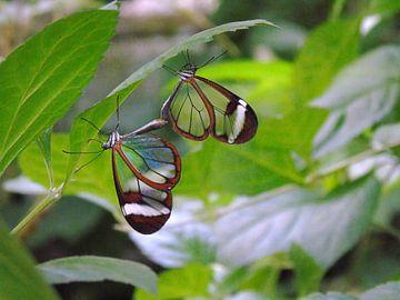 Greta Oto Couples - Tropische vlinders (  Collectie 2018 ) von Jan van Bruggen