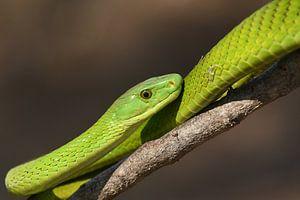 Groene slangenpracht van