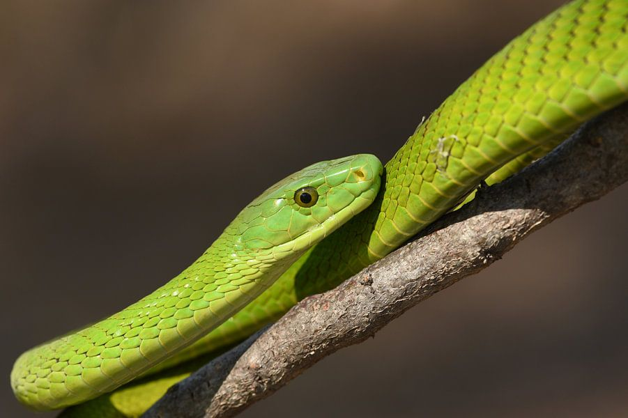 Groene slangenpracht van Frank Heinen