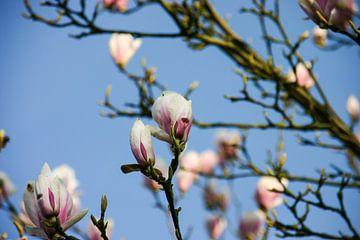 De roze bloesem van Petra Brouwer