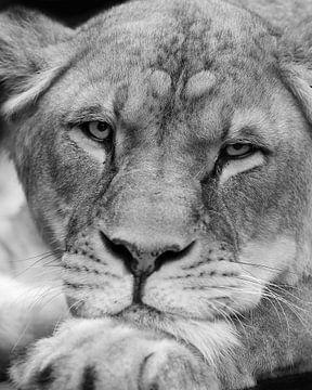 Lionne en position décontractée sur Patrick van Bakkum
