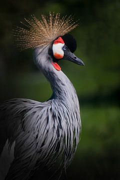 Stolzer arroganter Vogel gekrönten Kranich mit einer Federkrone auf einem dunkelgrünen Hintergrund von Michael Semenov