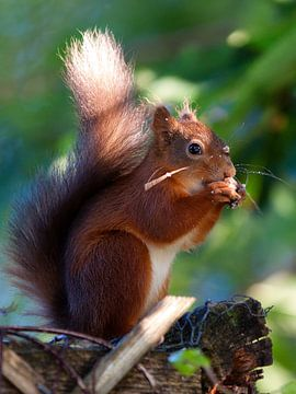 Red Squirrel sur Marcel van den Hoven