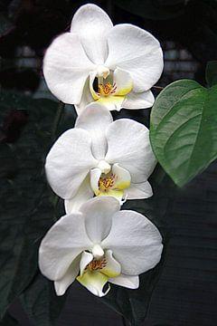 Trio Orchidee von Elly Wille-Neuféglise