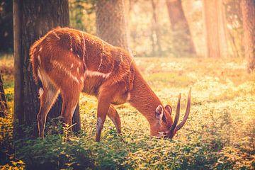 Ein junges Reh sucht während der Morgenstunden  im Schutz des Waldes nach Futter von Jakob Baranowski - Off World Jack