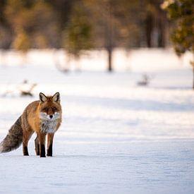 Un renard dans la neige sur Ed Klungers