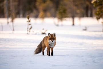 Fuchs im Schnee von Ed Klungers