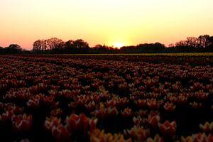 Tulpen van Simon E