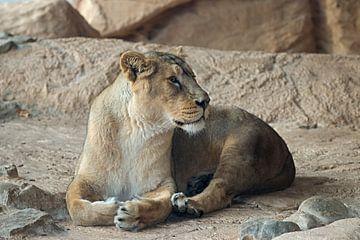 Löwin ruht sich aus von W J Kok