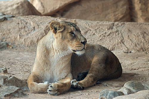 leeuwin aan het rusten van W J Kok