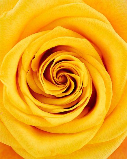 Close-up gele roos