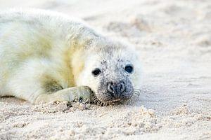 Baby grijze zeehond (Halichoerus grypus) relaxing op het strand van nilaya van vliet