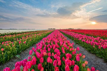 Tulpen aus Holland von Richard Gilissen