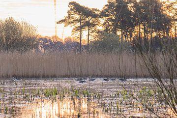 ganzen in het gouden meer van Tania Perneel