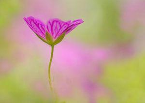 Een geranium uit het niets van