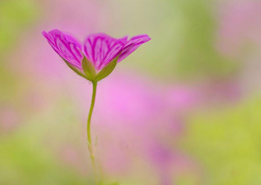 Een geranium uit het niets