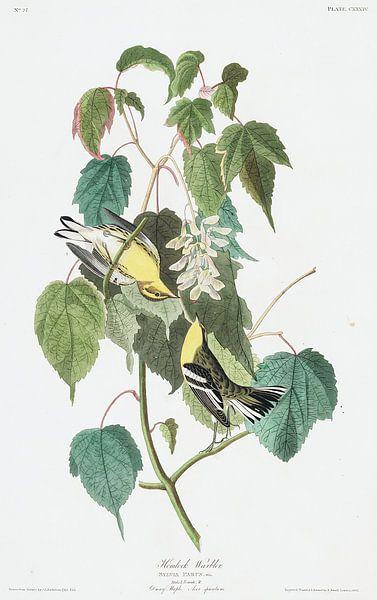 Hengel Grasmus van Birds of America