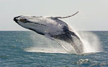 Spielender und springender Wal von Robin Scholte