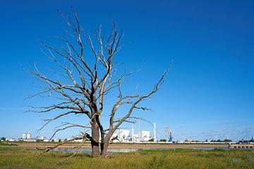toter abgestorbener Baum am Ufer des Flusses Elbe bei Magdeburg mit Müllheizkraftwerk von Heiko Kueverling