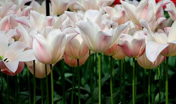 Tulpen van Carolina Vergoossen