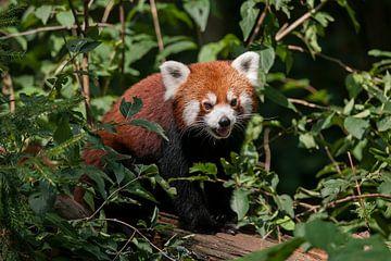 Kleiner Panda : Ouwehands Dierenpark von Loek Lobel