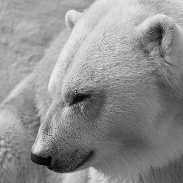 Eisbär von Koolspix