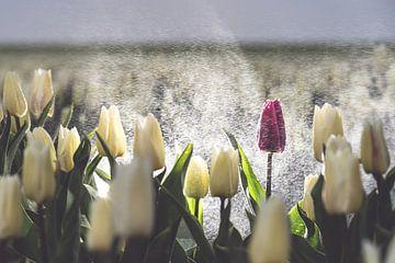 Paarse tulp in een wit tulpenveld in de regen van
