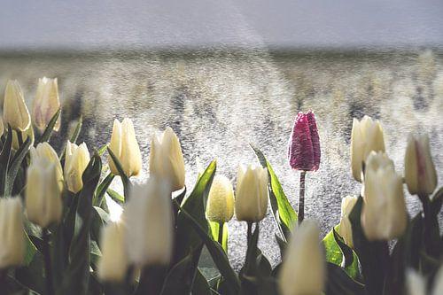 Paarse tulp in een wit tulpenveld in de regen