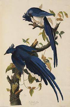 Westelijke Struikgaai - Teylers Edition -  Birds of America, John James Audubon van Teylers Museum