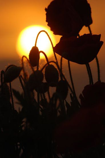 Poppy during sunset van Sense Photography
