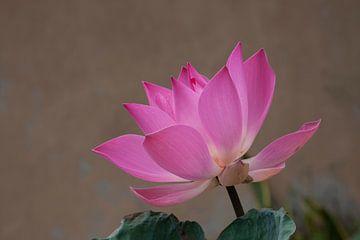 Roze Lotusbloem von Andre Jansen