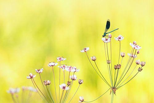 Libelle auf Blume Schwäne.