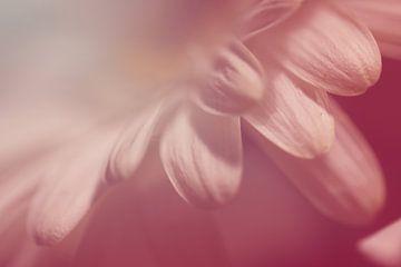 Zarte Blütenblätter von Rosi Lorz