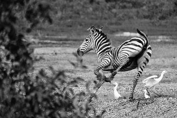 Zebra jung von Lien van der Laan