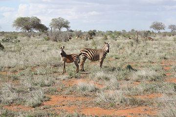 Zebra koppel van
