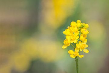 Gelbe Stechpalme oder Mahonia bush oder Traubenstrauch (Mahonia aquifolium) von Carola Schellekens