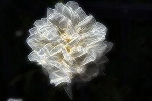 Rose 3 van
