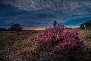 Heide in bloei van Rob Eijfferts