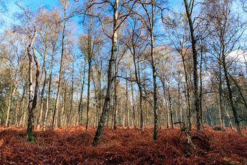 Witte berken in het Grebbebos in de herfst von Dennis van de Water