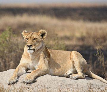La lionne à l'affût sur Koolspix
