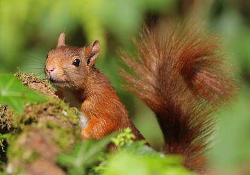 Rode Eekhoorn in het bos van Michel de Beer