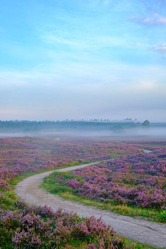 Bloeiende heide tijdens zonsopkomst op de Veluwe van Sjoerd van der Wal