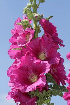 roze stokroos van Anja Bagunk